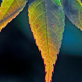 In Transition by Keith Sutherland - Nature Up Close Leaves & Grasses ( lighting, fall, transition, leaf, maple )