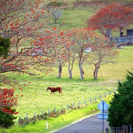 Field near Sydney by Timothy Carney - Landscapes Prairies, Meadows & Fields ( field, pasture, jacaranda, horse, meadow )