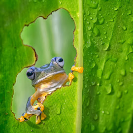 Look through my window by Dikky Oesin - Animals Amphibians ( nature, frog, green, amphibian, morning )