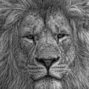 King of the B&W Jungle by Steve BB - Animals Lions, Tigers & Big Cats ( lion, b&w, mane, jungle, maneater, blackpool, drama, black and white, animal )