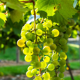 white grapes by Debra Parrilli - Nature Up Close Gardens & Produce ( grapes, green greapes, white grapes, wine grapes,  )