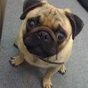 Pug canine