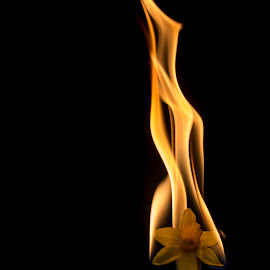 spring is in the air by Sander Vanhee - Abstract Fire & Fireworks ( easter lily, yellow, burning, black, flower, fire )