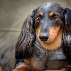 by Kevin Tessier - Animals - Dogs Portraits ( #showusyourpets, other keywords, pet photography, daschund, dogs, pets, weiner dog, cocoa beach, #garyfongpets )