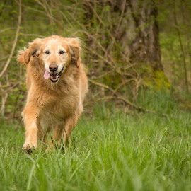 Marley by Sharon Snider - Animals - Dogs Running ( #goldenretriever #dog #running #dogportrait )