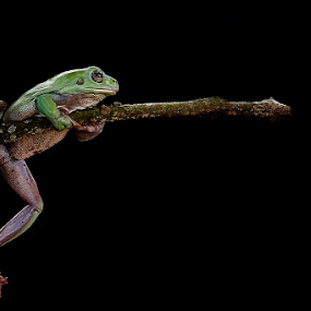 crazy frog by Alonk's Roby - Animals Amphibians (  )