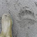 Kodiak Bear Track