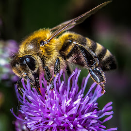 bee by Ion Daniel - Animals Insects & Spiders ( macro, pentax, insect )