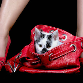cat in bag by Mario Forcherio - Animals - Cats Kittens ( studio, shoes, cat, red, bag )