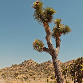 Joahua Tree by Wendy Smith  - Landscapes Deserts ( joshuatree, desert, tree, california, nationalpark )