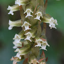 Microchilus orchid