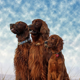 The Beach Boy's by Ken Jarvis - Animals - Dogs Portraits ( natural light, breed, cute, natural background, adorable dogs, nature, mamal, animal, pedigree, irish setter, animalia, adult, young, portrait, sit, canine, resting, sitting, animal kingdom, pet, zoology, rest, companion dog, dog, natural, #GARYFONGPETS, #SHOWUSYOURPETS )