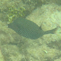 Spotted Boxfish (Female or juvenile)