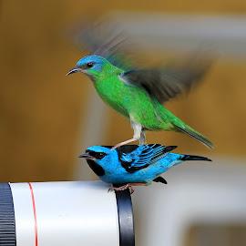 couple! by Itamar Campos - Animals Birds ( female and male, blue dacnis, saíra azu, femea, macho )