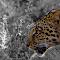 Leopard Mholoholo.jpg