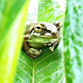 Frog 7 by Cindy Brown - Animals Amphibians (  )