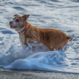 Bella at the Beach by Brent Morris - Animals - Dogs Playing