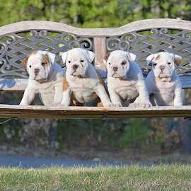 Bunch of Bull! by Tara Chumsae - Animals - Dogs Puppies ( english bulldog, animals, bulldogs, baby animals, cute, love, bully, wrinkles, bulldog, puppies, sweet, pet, pets, english bulldogs. dog, adorable, baby, dog, pippy, bullies, animal )
