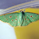 Red-dotted Emerald Moth