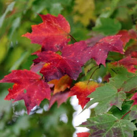 by Todd Reynolds - Nature Up Close Leaves & Grasses ( fall, color, colorful, nature )