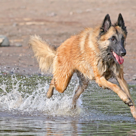Young energy by Mia Ikonen - Animals - Dogs Running ( playing, belgian shepherd tervueren, finland, beach, water splash )