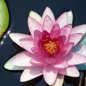 Waterlily in the pink. by Raymond Earl Eckert - Nature Up Close Flowers