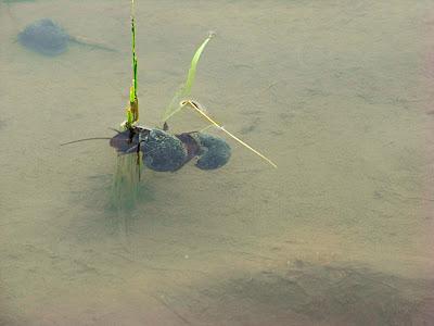 Caracoles apareándose haciendo el amor follando カタツムリ エスカルゴ 合体 snails having sex mating