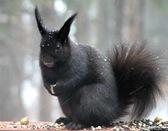 AbertsSquirrel