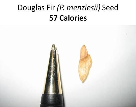 D Fir Seed Caption