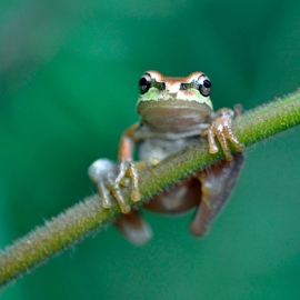 Just Hanging ON by Keith Sutherland - Animals Amphibians ( hanging, nature, frog, holding, green, stem, natural )