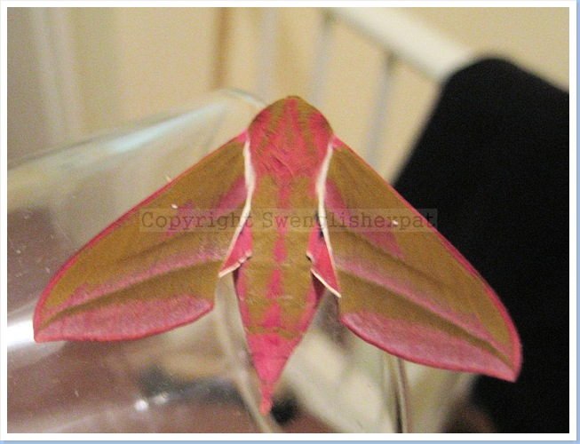 Elephant Hawk Moth 2