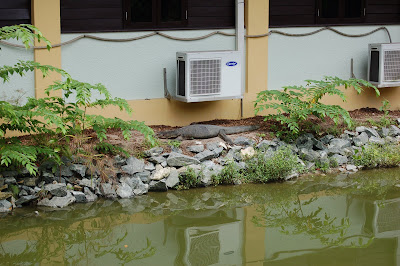 Monitor lizard basking under air con unit