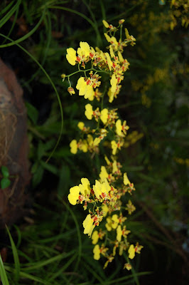 Closer view of Yellow Orchids