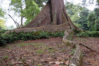 Kapok Tree Roots