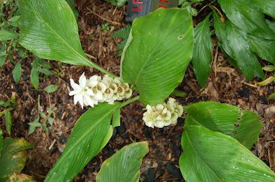 Curcuma cordata white