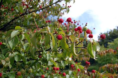 Cornus Kousa Chinensis seeds