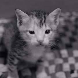 by Kitkat Katrina - Animals - Cats Kittens (  )