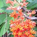 Mexican Butterfly Weed or Orange Milkweed