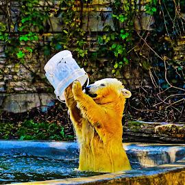 Star Performer by Brooks Travis - Animals Other ( water, bear, polar, pool, foliage, brick, bucket, swim, white, fur, ivy, concrete,  )
