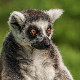 Orange eyes by Garry Chisholm - Animals Other Mammals ( garry chisholm, nature, wildlife, primate, lemur )