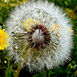 At Its Top by Marija Jilek - Nature Up Close Other plants ( dandelion, nature, plants, seeds, stem, dead )