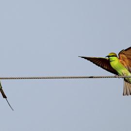 Green Bee Eater by Jayanta Pramanick - Animals Birds