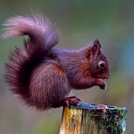 Red Squirrel by Bob Rawlinson - Animals Other Mammals ( squirrels )