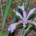 Tough-leaved Iris