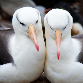 Lovers by Mike O'Connor - Animals Birds ( lovers, pair, falklands, mates, birds )