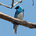 Swallow tanager (male)