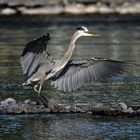 Great Blue Heron, Landing by Skye Ryan-Evans - Animals Birds ( great blue heron, bird, landing heron, wading bird, animal-lovers, blue heron, flapping wings, wildlife, heron wings, birdlovers, heron, animal )