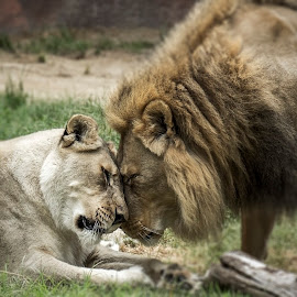 Love by Raghu Bhimanadi - Animals Lions, Tigers & Big Cats ( love, lion, male female )