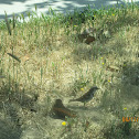 House Sparrow