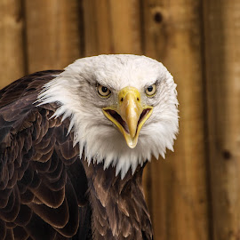 Sam2 by Garry Chisholm - Animals Birds ( bird, garry chisholm, eagle, nature, wildlife, prey, raptor )